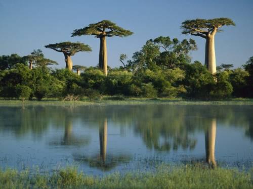 Красивые обои деревья баобаба скачать
