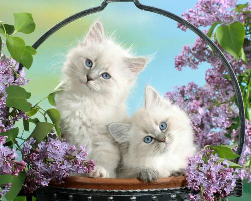 Красивые обои белые котики с голубыми