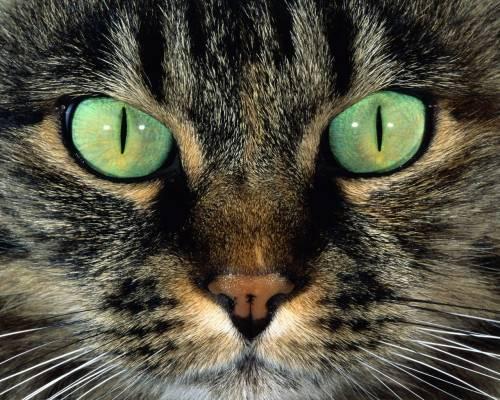 Красивые обои кошка с зелёными
