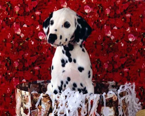 Красивые обои клёвый пёс далматинец