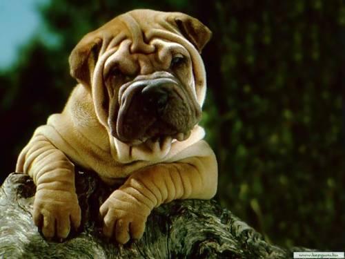 Красивые обои смешной щенок шарпея