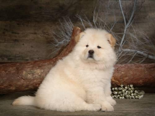Красивые обои собака породы чау чау
