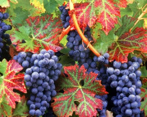 Красивые обои виноград с капельками