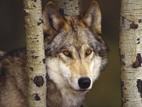 Обои серьёзный волк скачать бесплатно
